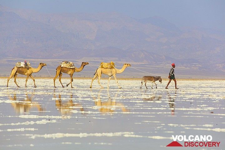 Camel caravan walking over the salt lake towards the mining area. (Photo: Tom Pfeiffer)