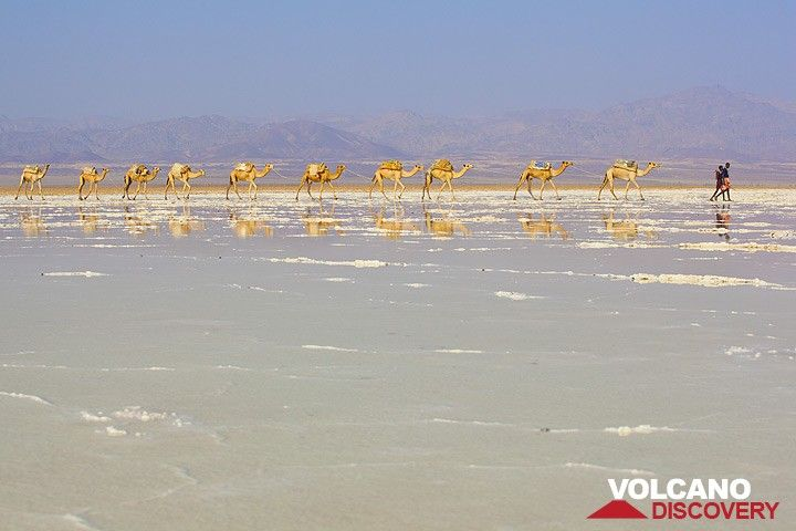 Camels walking to the salt mining area and are reflected on the wet surface of the salt lake Assale. (Photo: Tom Pfeiffer)