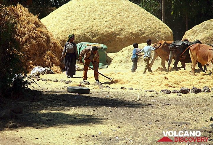 Threshing of tef - the most important grain in Ethiopia, used to make the national break called injera. (Photo: Tom Pfeiffer)