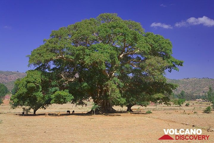 Old and large tree, home to some playful monkeys. (Photo: Tom Pfeiffer)
