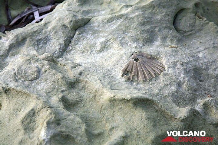 Eine fossile Muschel in der einst submarin abgelagerten Ascheablagerung (Photo: Tom Pfeiffer)