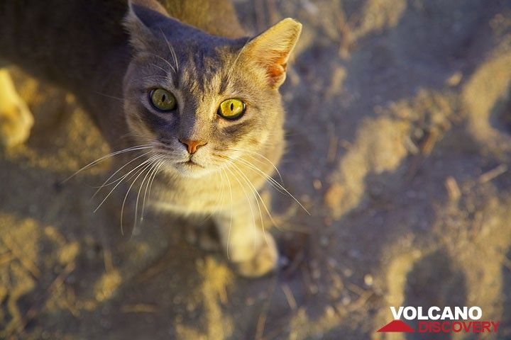 Beautiful cat from Klima (Milos Island) (Photo: Tom Pfeiffer)