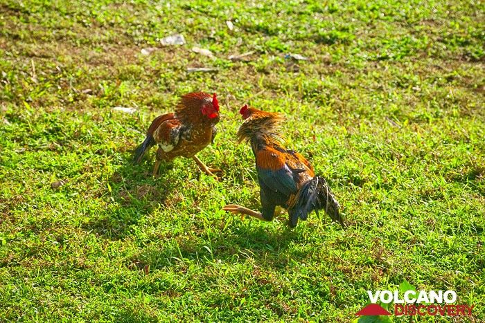 (not a game!) Two roosters fight for nothing... (Photo: Tobias Schorr)