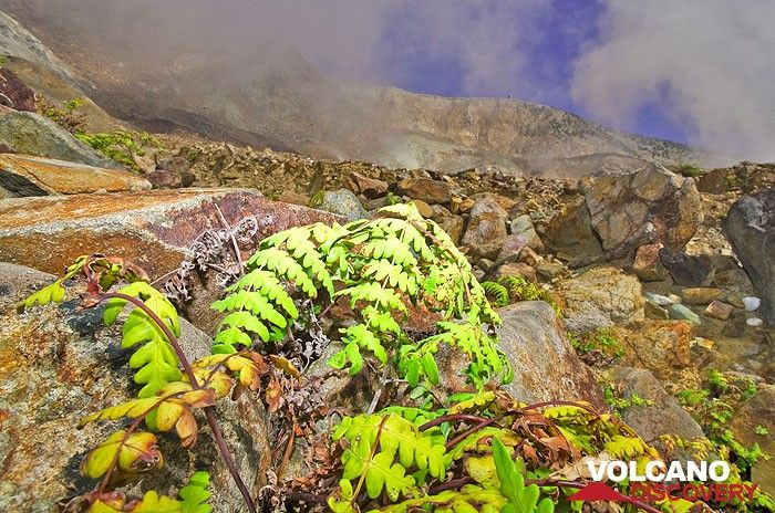 Fern surviving the acid ground inside the crater of Papadayan volcano  (Photo: Tobias Schorr)