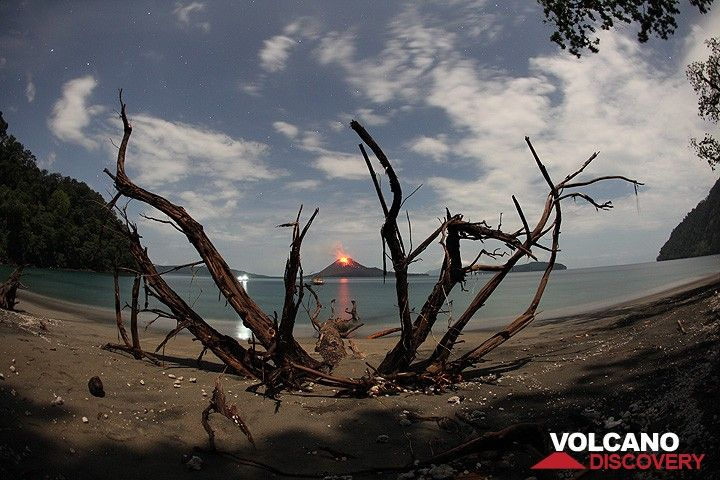 A large tree has recently fallen onto the beach of Rakata, exposing its strong radial roots, because the beach is constantly eroding.