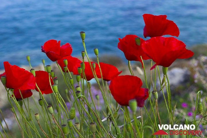 Red poppies at the caldera of Santorini, Greece (Photo: Tom Pfeiffer)