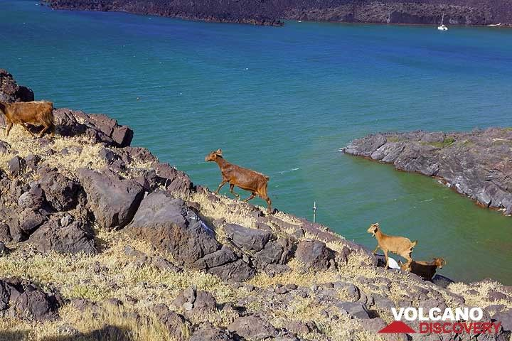 Sostis' herd of goats on Palea Kameni island (Photo: Tom Pfeiffer)