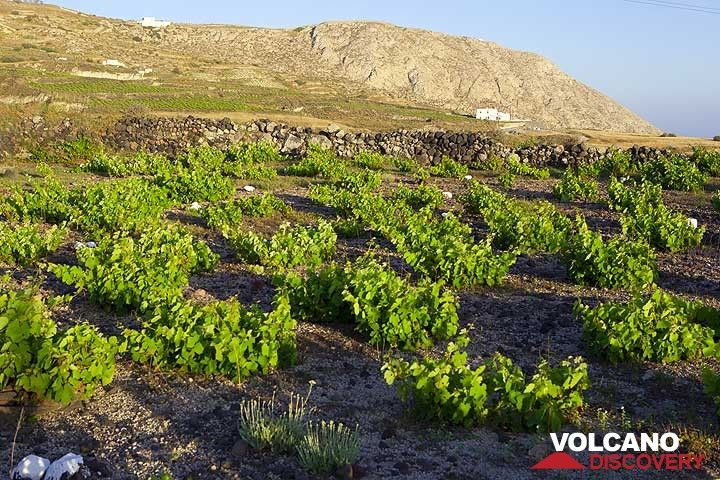 Wine field near Pirgos, Santorini (Photo: Tom Pfeiffer)