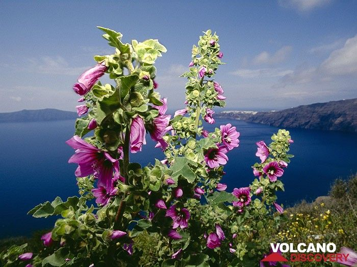 Malve flowers at the edge of the caldera (Photo: Tobias Schorr)