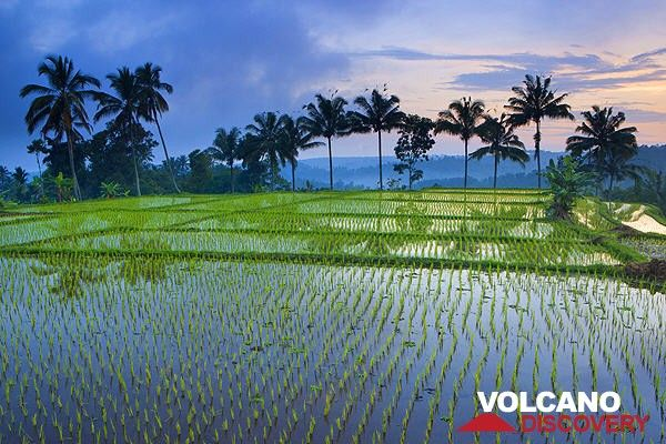 Rice field in East Java (Photo: Roland Gerth)