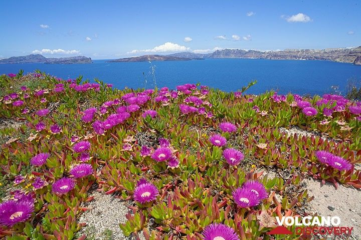 Midday flowers at the caldera (Photo: Tom Pfeiffer)